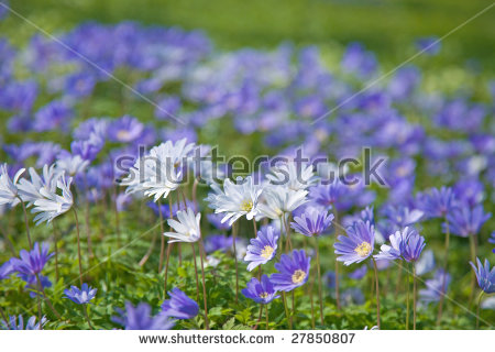 Anemone Blanda Stock Photos, Royalty.