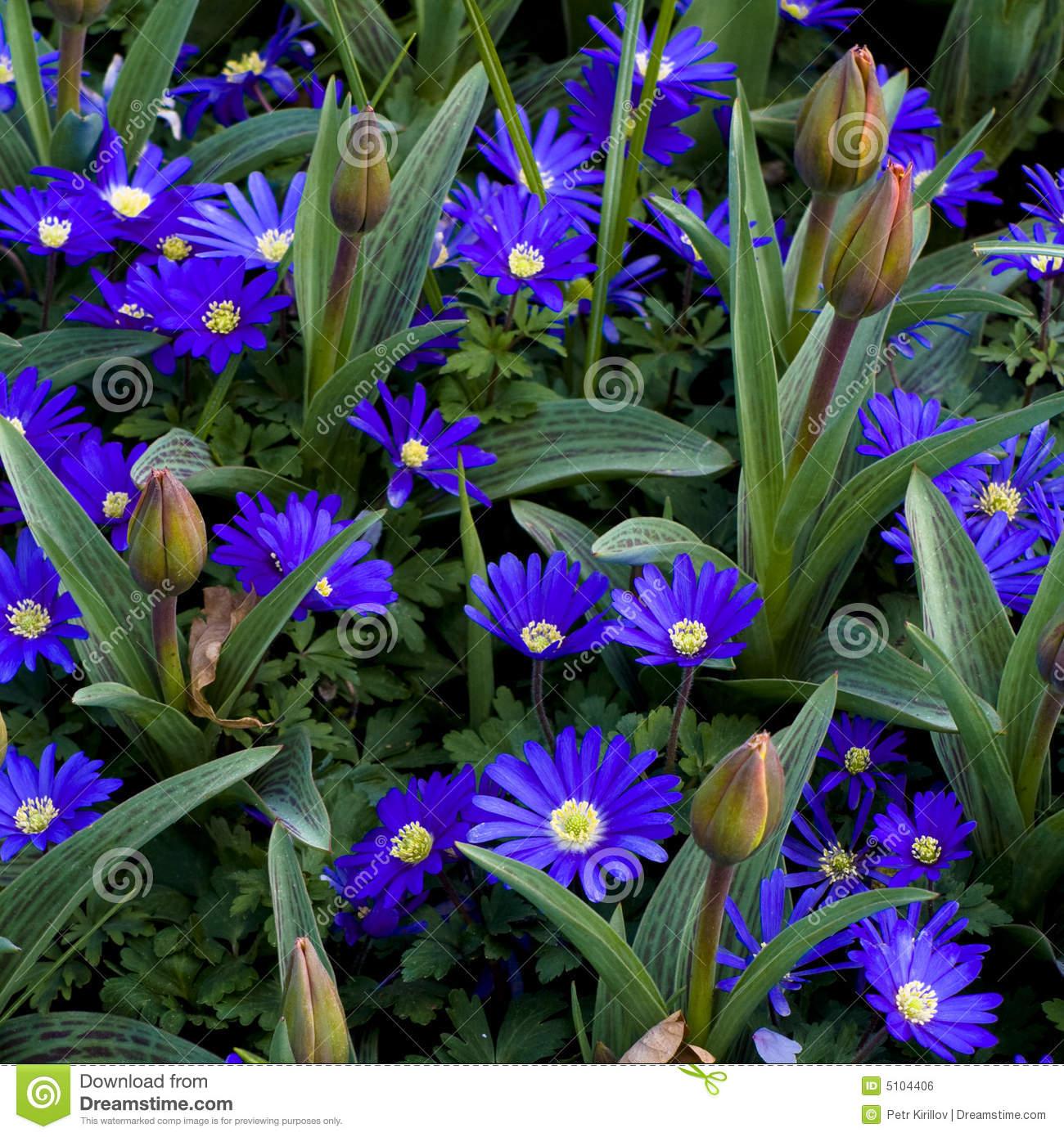 Anemone Blanda Gemengd Flowers Royalty Free Stock Image.