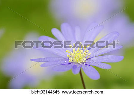 "Stock Image of ""Blue Anemone or Grecian Windflower (Anemone."