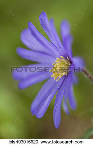 "Stock Photography of ""Blue Shades Windflower (Anemone blanda Blue."