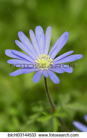 "Stock Photo of ""Blue Anemone or Grecian Windflower (Anemone."