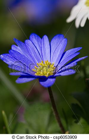Stock Photographs of Beautiful blue Anemone blanda in macro.