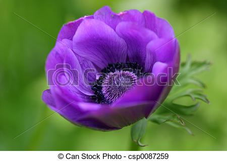 Stock Photographs of Anemone Blanda.