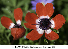 Windflower Stock Photos and Images. 1,224 windflower pictures and.