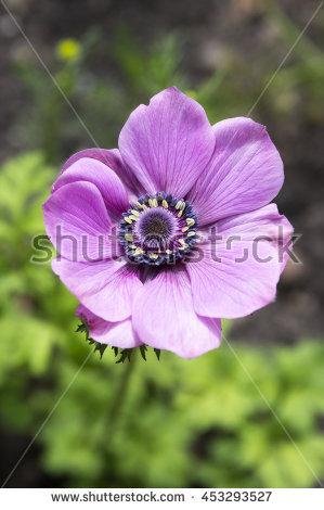 """anemone Coronaria"" Stock Photos, Royalty."