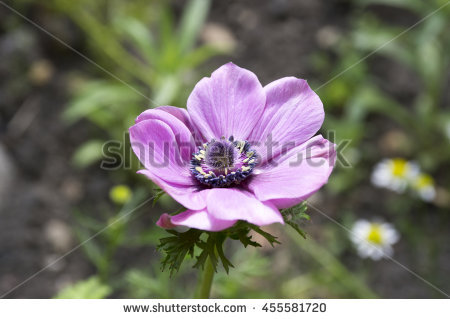 Anemone Coronaria Stock Photos, Royalty.