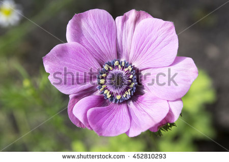 """anemone Coronaria"" Stock Photos, Royalty."