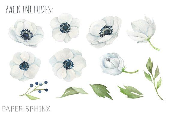Watercolor Anemone Flowers Clipart.