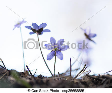 Pictures of anemone hepatica.