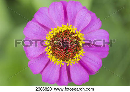 Stock Photography of Close up of a pink flower, Japanese Anemone.