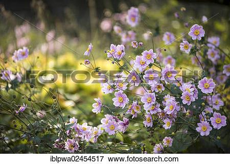 Picture of Japanese Anemone 'Pamina' (Anemone hupehensis var.