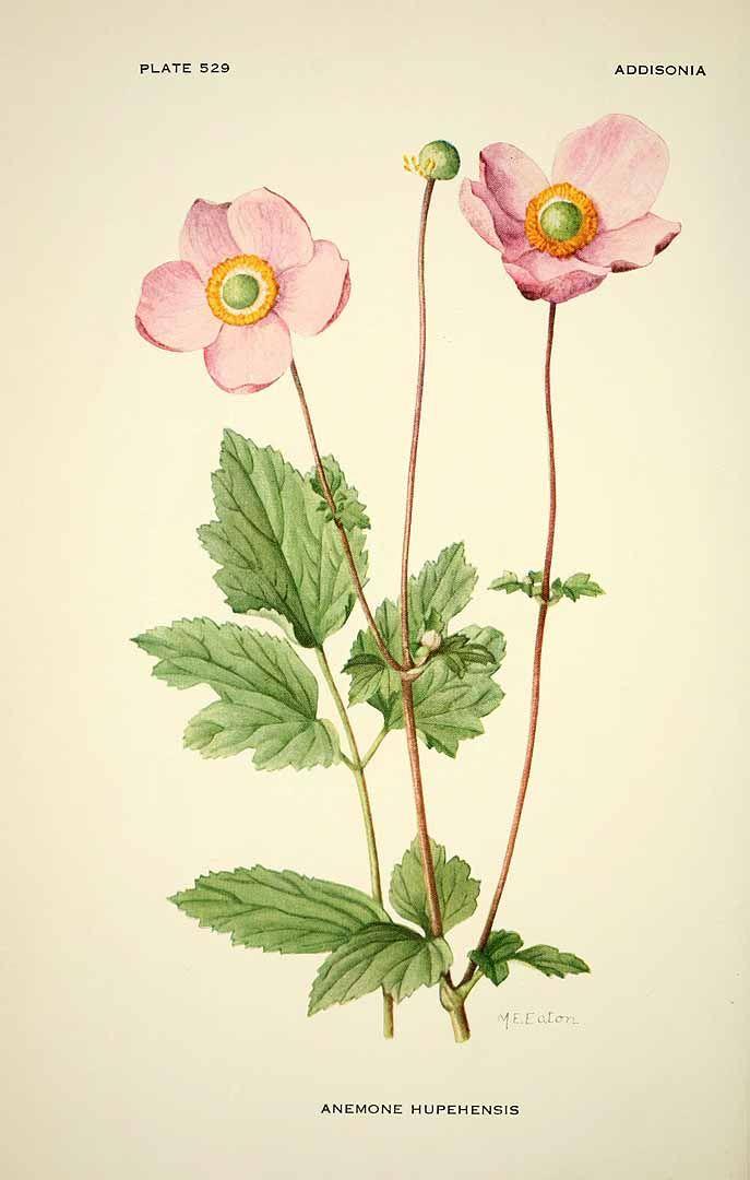 Ботанические таблицы. Анемона hupehensis илл.1896 _ Botanical.