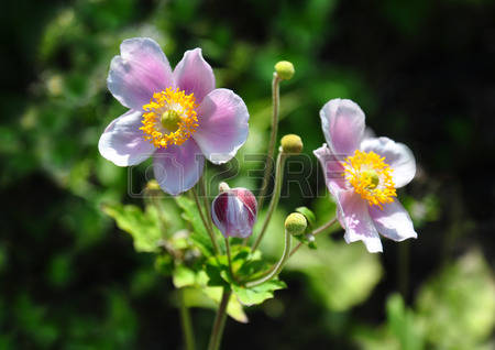 Chinese Anemone Stock Photos Images, Royalty Free Chinese Anemone.