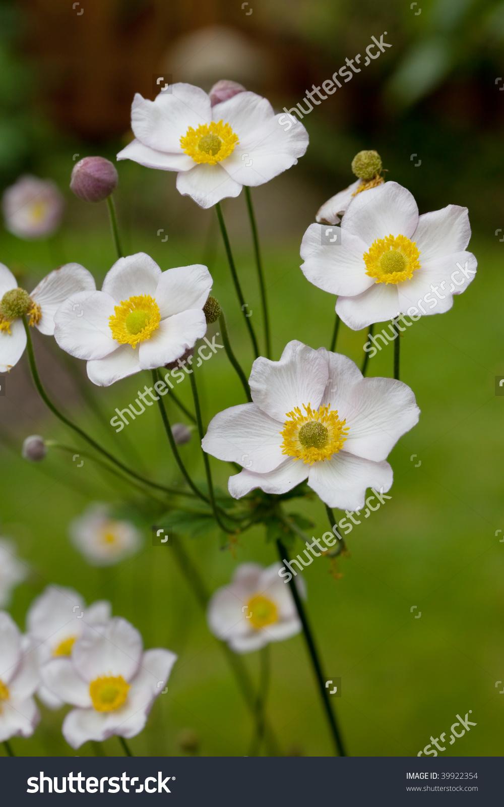 Japanese Anemone (Anemone Hupehensis Var. Japonica) Stock Photo.