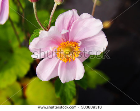 Anemone Stock Images, Royalty.