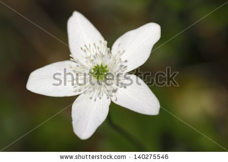 Anemone Narcissiflora Stock Photos, Images, & Pictures.