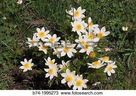 Stock Photo of Anemone narcissiflora,grauson,cogne,val of aosta.