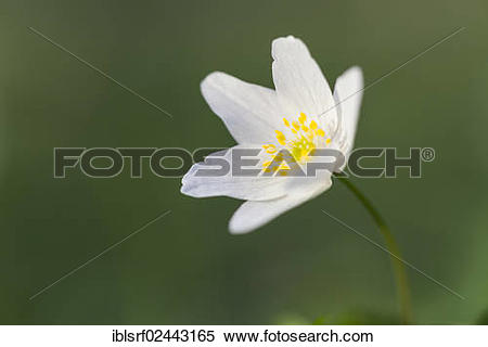 "Stock Image of ""Wood Anemone, Windflower or Thimbleweed (Anemone."