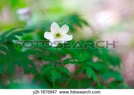 Picture of Wood anemone Anemone nemorosa flowering in spring y2t.