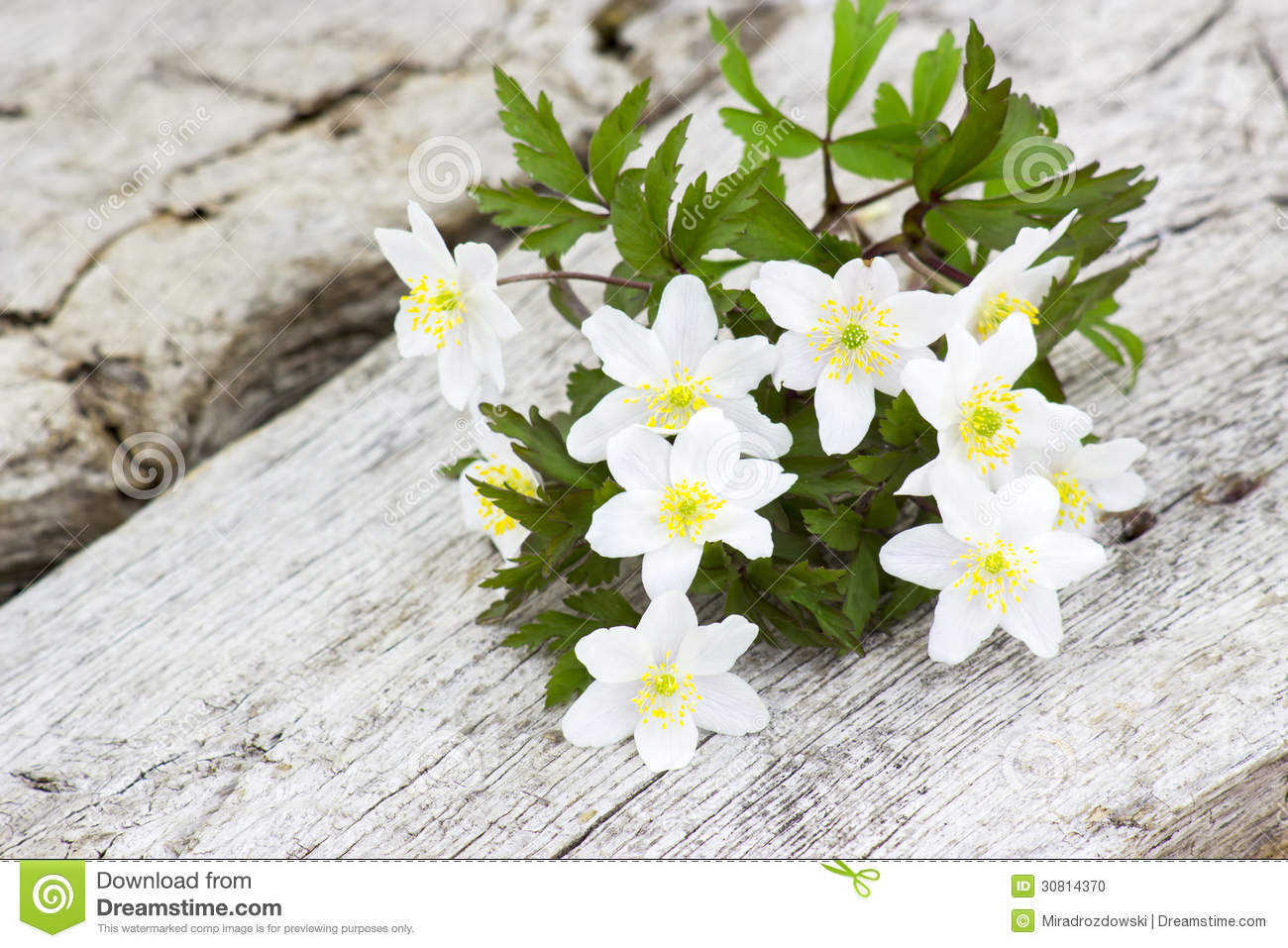 Snowdrop Anemone (Anemone Sylvestris) Stock Photo.