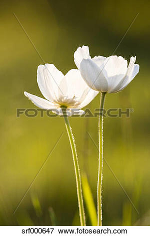 Picture of Blossoms of snowdrop anemones, Anemone sylvestris.