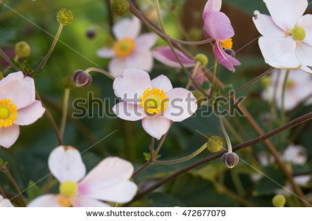 """snowdrop Anemone"" Stock Photos, Royalty."