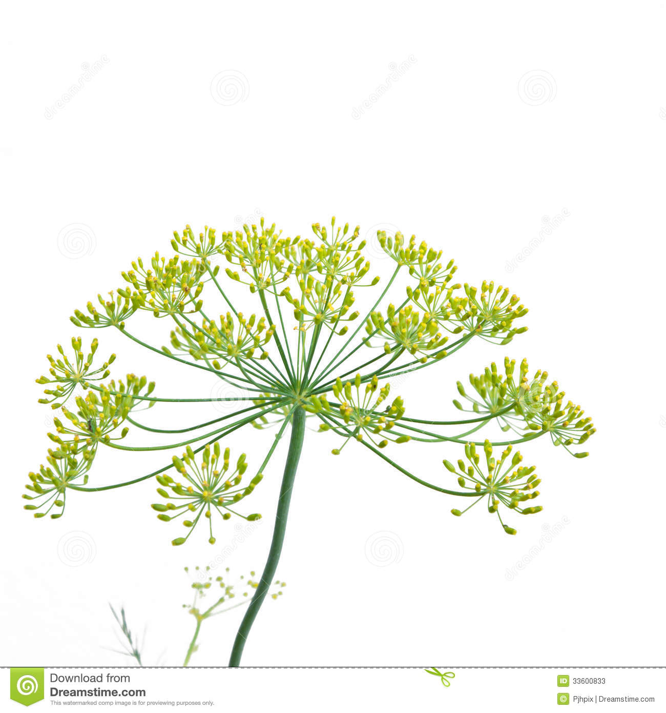 Flowering Dill (anethum Graveolens) Stock Photos.