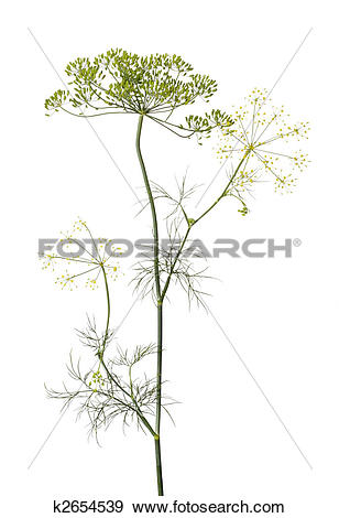 Stock Photograph of Dill (Anethum graveolens) k2654539.