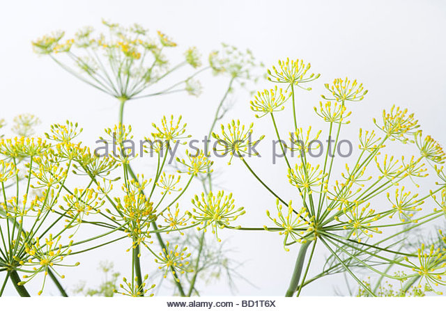 Anethum Graveolens Stock Photos & Anethum Graveolens Stock Images.