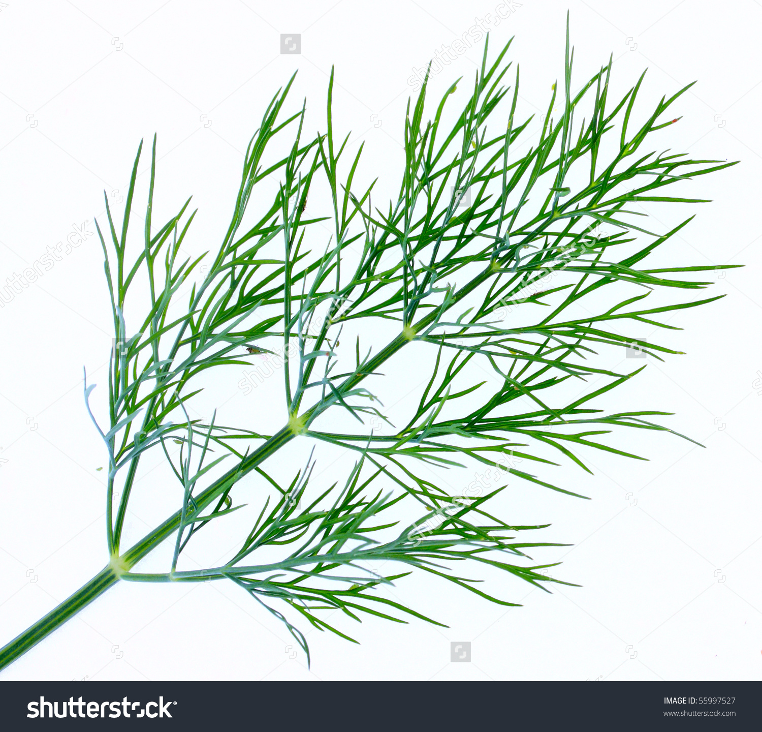 Dill Anethum Graveolens Fresh Dried Dill Stock Photo 55997527.
