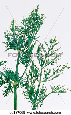 Stock Photograph of Dill (Anethum graveolens) cd137069.
