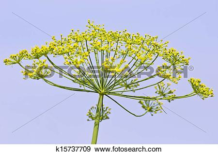 Stock Photograph of Dill, Anethum graveolens k15737709.