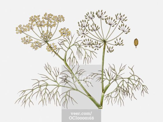 Illustration of Anethum graveolens (Dill) plant with flowers.