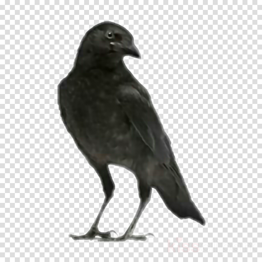 bird black crow raven beak clipart.