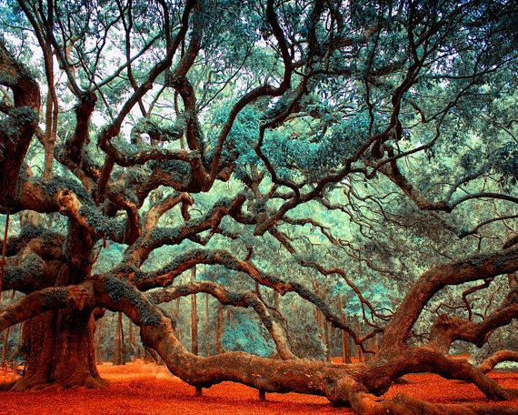 Nature Photography, Angel Oak, Charleston SC, Tree Print.