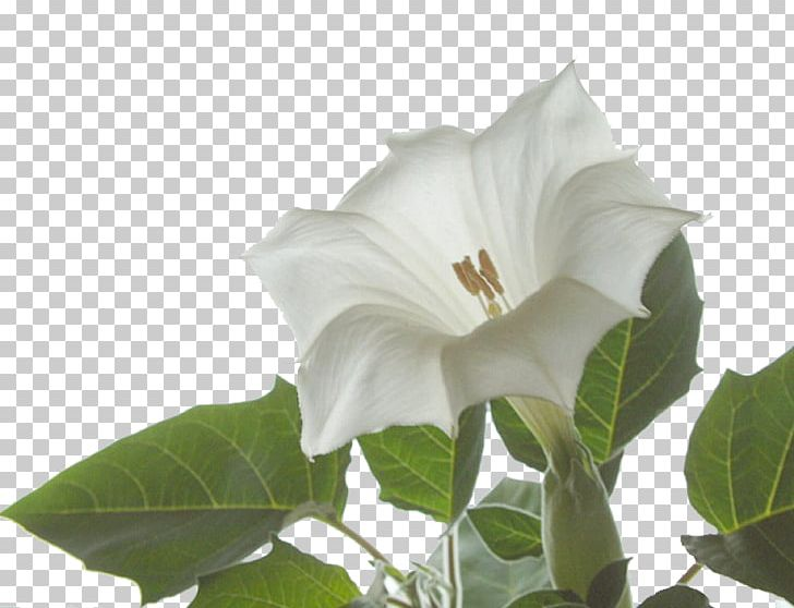 Angel\'s Trumpet Jimsonweed Plant Family Floral Formula PNG.