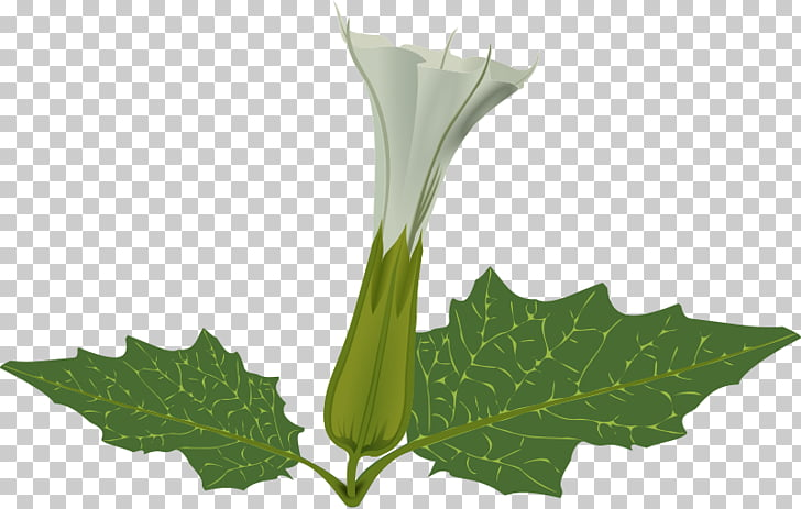 Jimsonweed Flower Angel\'s trumpets , flower PNG clipart.