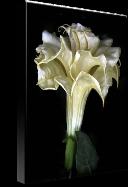 Daturas Flower Tulip Floral emblem Floral design.