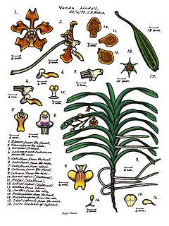Diagram Bunga Anggrek.