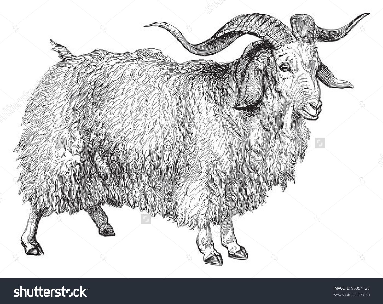 Angora Goat Capra Angorensis Vintage Illustration Stock Vector.