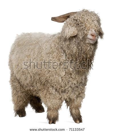 Angora Goat Stock Photos, Royalty.