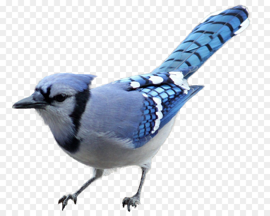 206 Blue Jay free clipart.