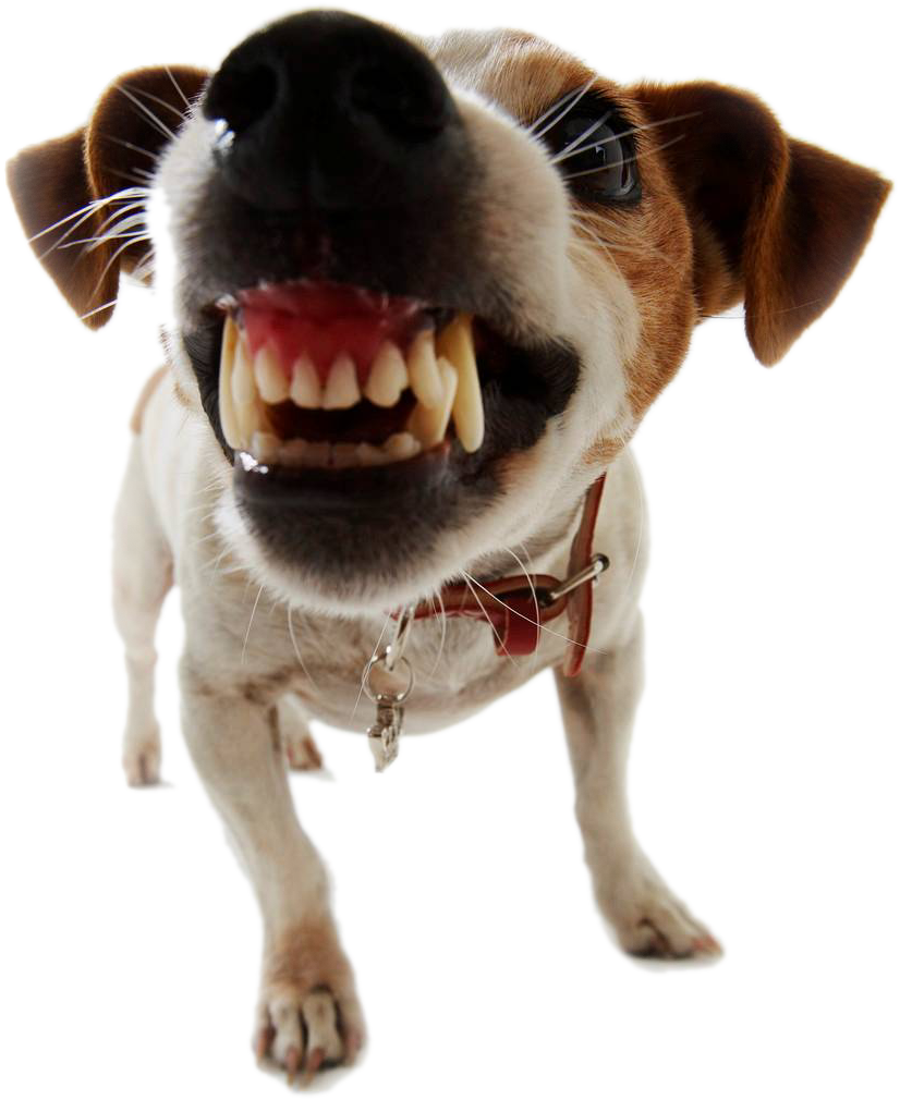 Russell terrier PNG Images.