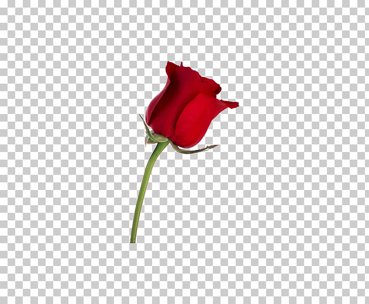 Desktop Rose Stock photography Flower, Angry Birds PNG.