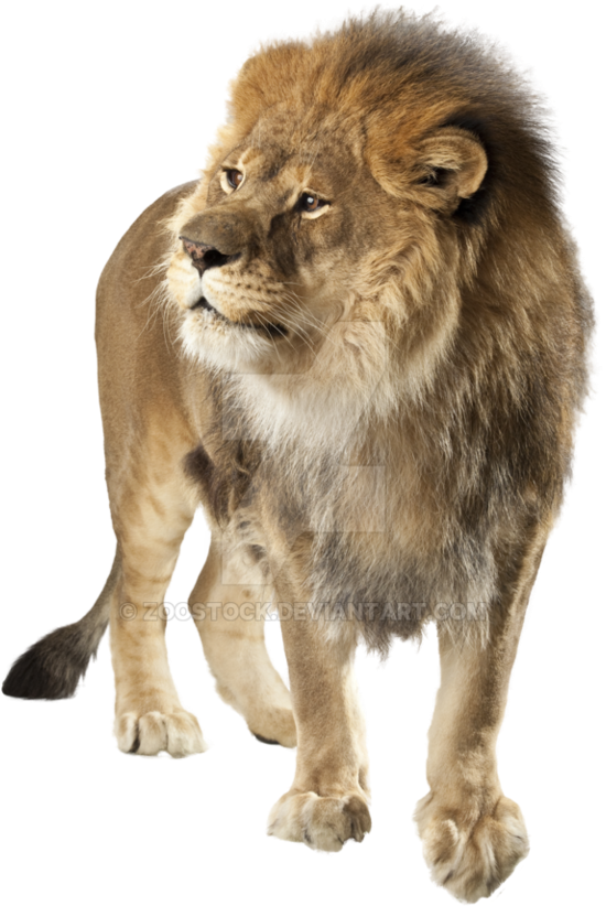 HD Angry Lion On A.