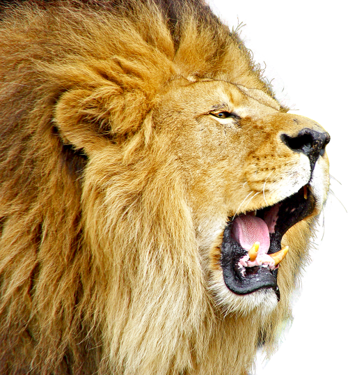 Lion PNG Transparent Image Fro Free (50 Images).