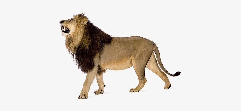 Angry Lion Png Images Download.