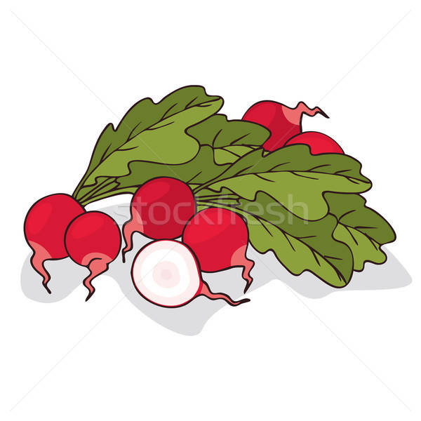 Isolate ripe radish root vegetable vector illustration.