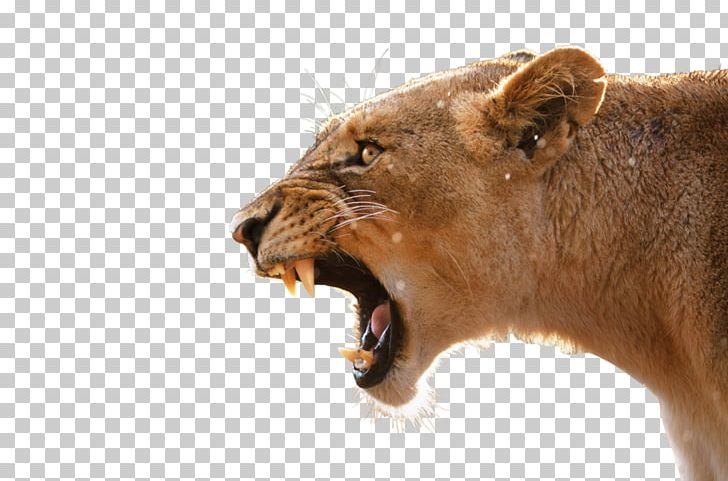 Lion Desktop Anger Tiger Roar PNG, Clipart, Aliexpress.