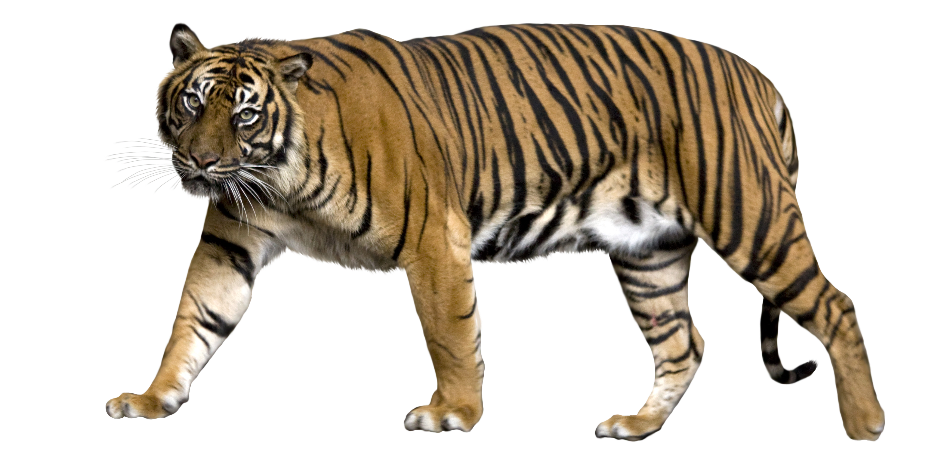 Collection of 14 free Angry tiger png bill clipart dollar sign.